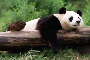 panda-con-cuelgue.jpg